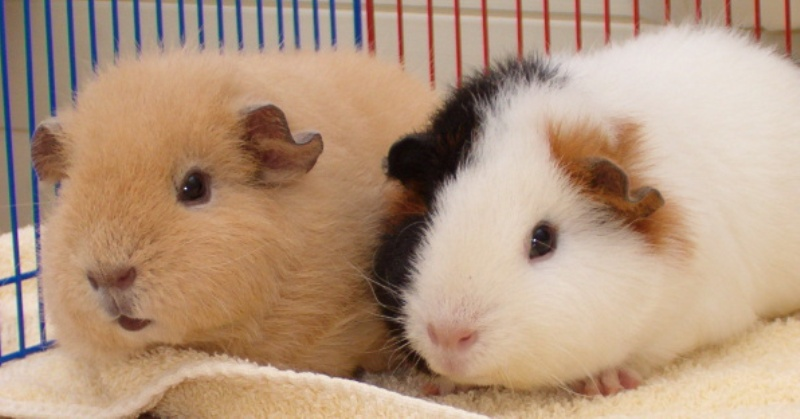 Guinea pigs all about pets teddy guinea pig sciox Gallery
